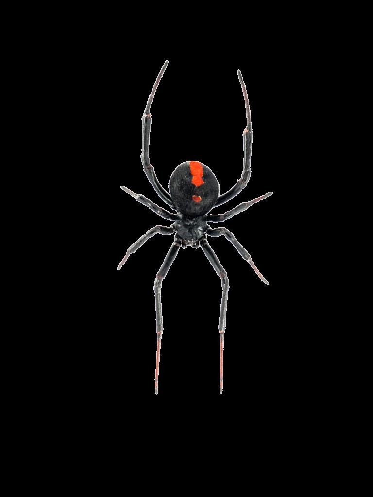 Spider Redback - Pest Wagon Pest Control Bairnsdale